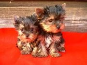 YORKSHIRE TERRIER TEACUPS AVAILABLE FOR LOVING HOMES